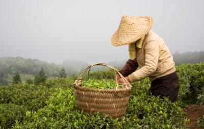 propiedades del té blanco china