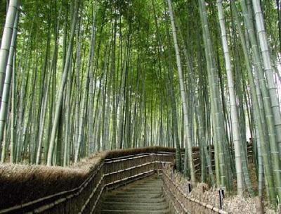 assam bambus