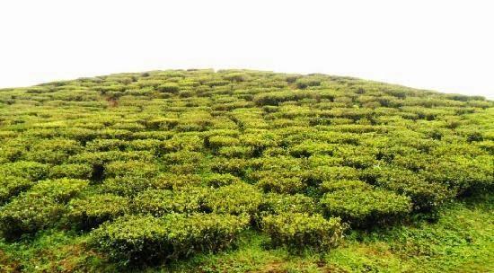 Darjeeling cosecha de primavera