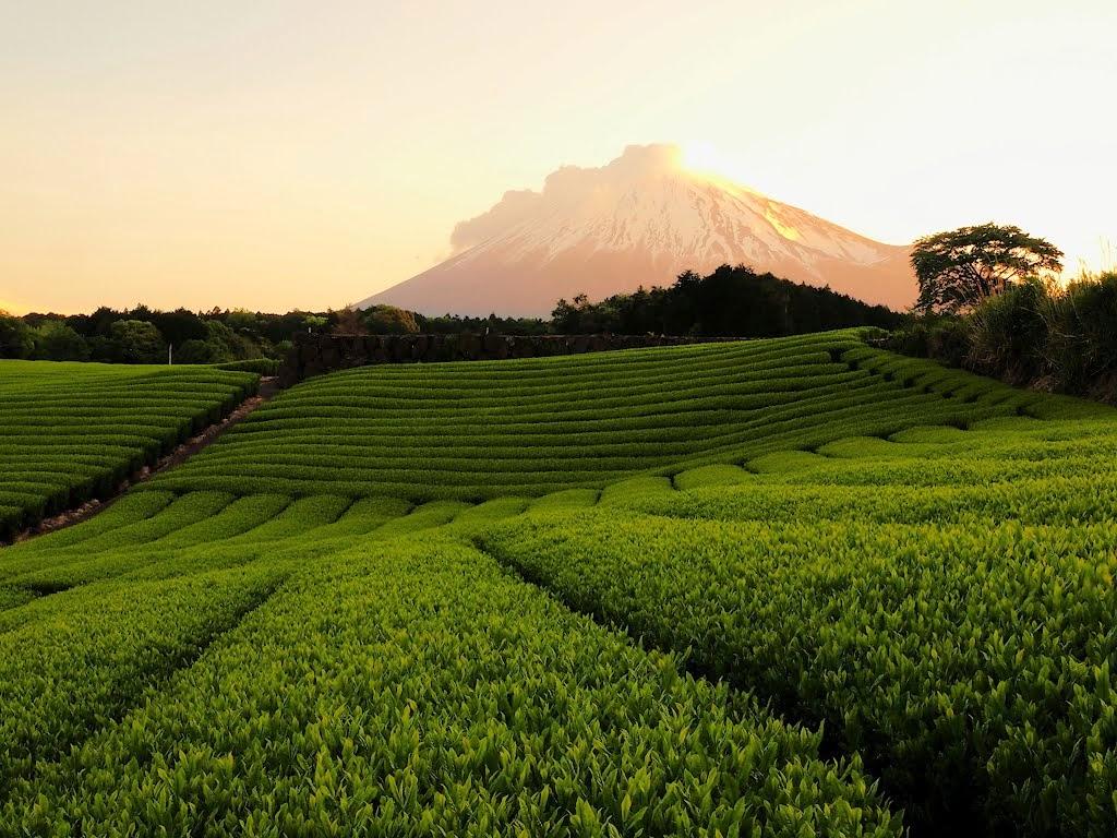 té de penumbra plantación Japón