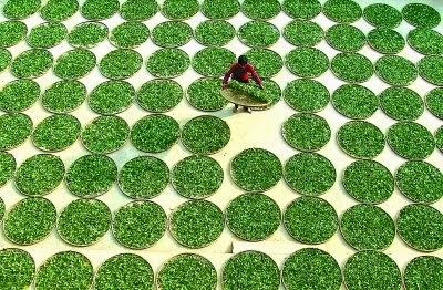 secando hojas Tieh Kuan Yin